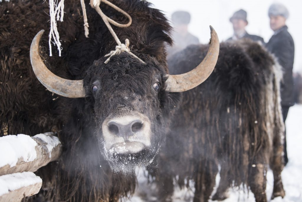Yak in Uighur -selected Daily Dozen of National Geographic-